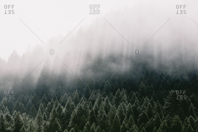 High angle view of coniferous trees in forest during foggy weather