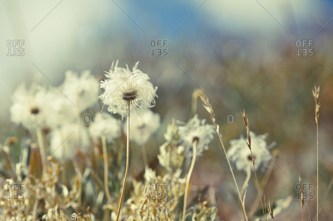 Close-up of dandelions growing on field at Yellowstone National Park