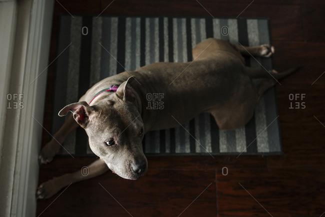 High angle view of dog lying on rug at home