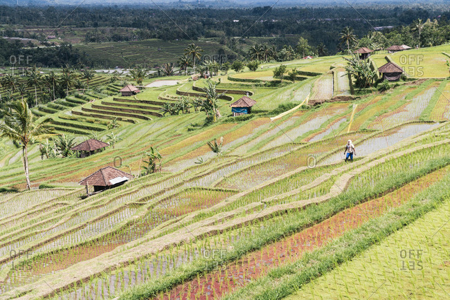Bali, Indonesia - January 25, 2013: Rice farmer working his fields in terraced landscape