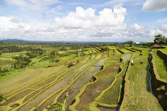 Panoramic view over terraced rice paddies cut into hillside in Bali, Indonesia