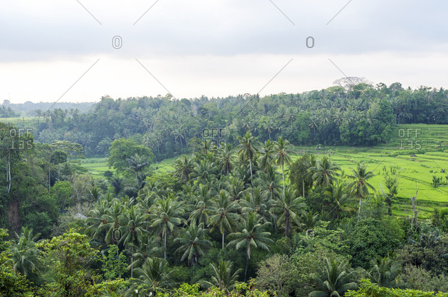 View of verdant tropical greenery and terraced rice fields in Bali, Indonesia