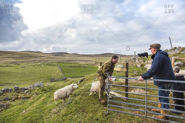 April 22, 2017: Shepherds herding sheep against vast hilly grassland, Scotland, UK