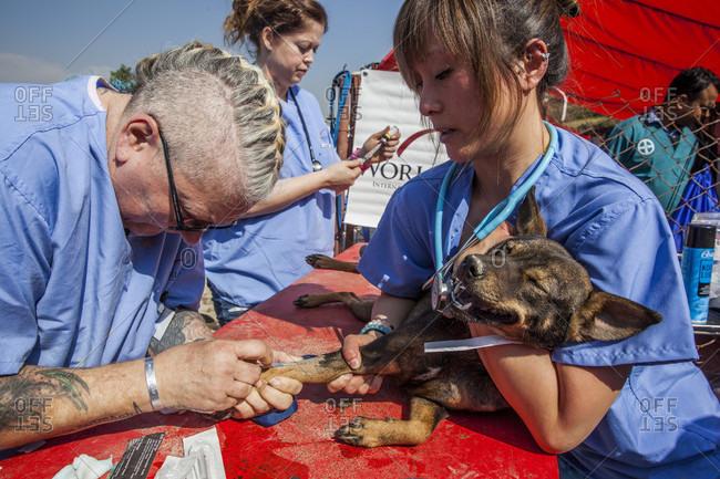 November 14, 2017: Two vets sedating dog before neutering procedure, Patan, Bagmati, Nepal