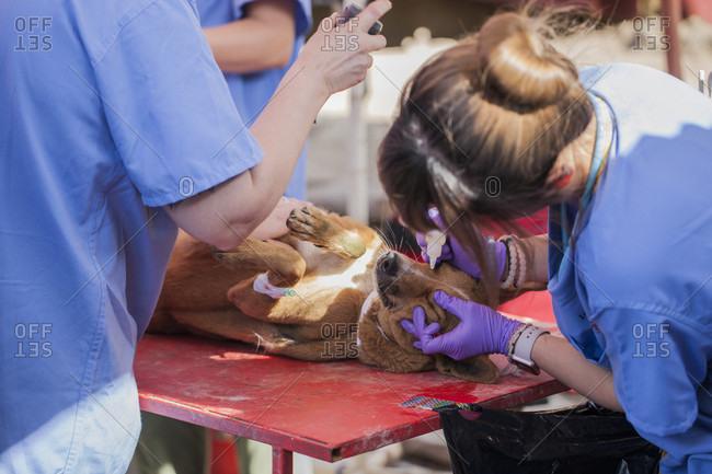 November 14, 2017: Veterinarians treating injured dog in veterinarian facility, Patan, Bagmati, Nepal