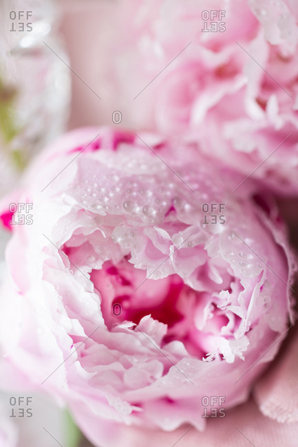 Close up of pink peonies