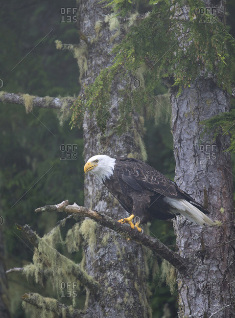 Bald eagle perched in forest of San Juan islands
