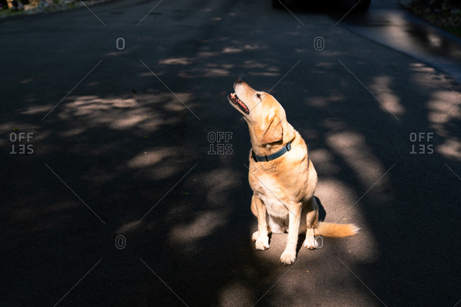 Portrait of Labrador Retriever sitting on street looking up at sky