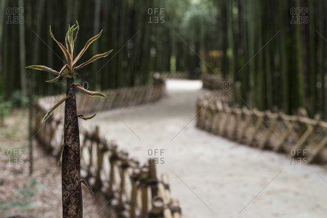 Bamboo shoots and bamboo trails