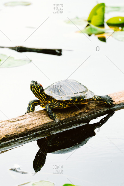 Painted turtle on log reflected in pond
