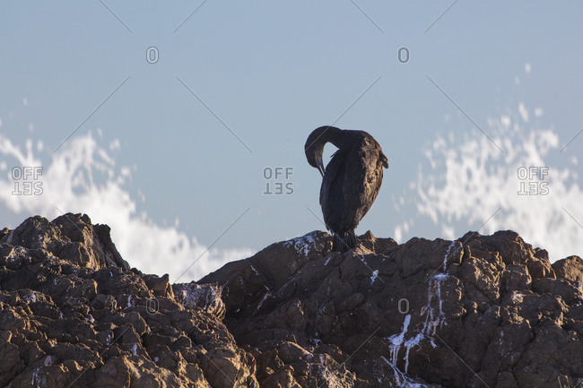 Africa- South Africa- Cape Town- Bird sitting on the rocks- preening