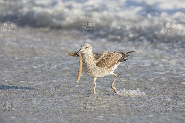 Africa- South Africa- Cape Town- Kelp gull with food in beak