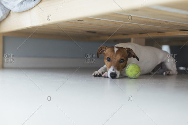 Dog lying under bed next to tennis ball