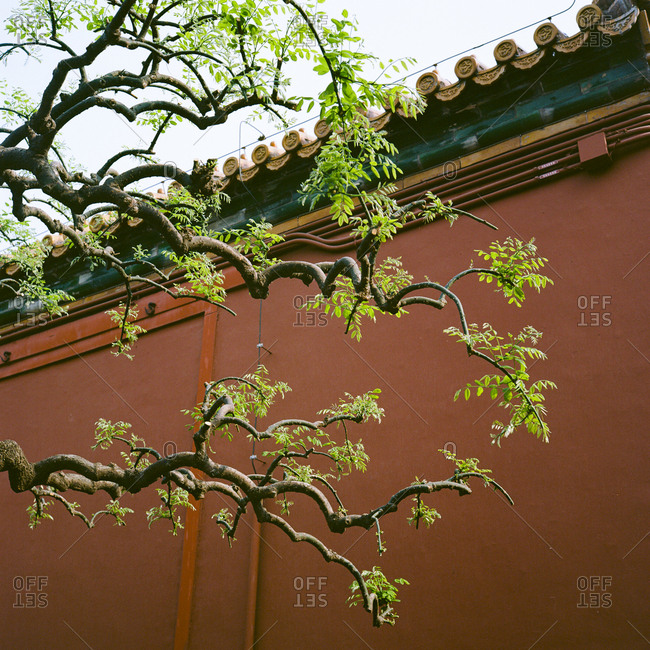Tree branch and leaves against section of wall with Chinese influence