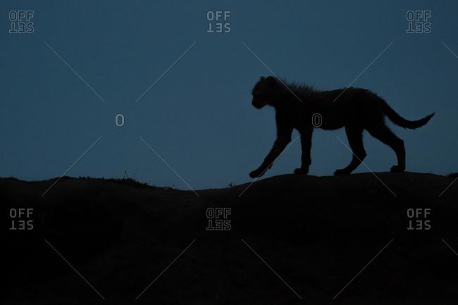A cheetah cub's silhouette at dusk
