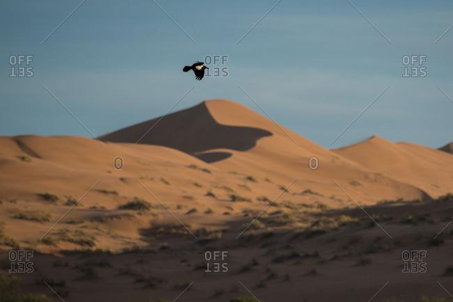 Pied crow (Corvus albus) flies over sand dunes in the desert