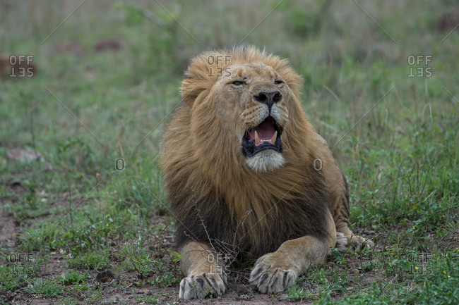 A male lion yawns