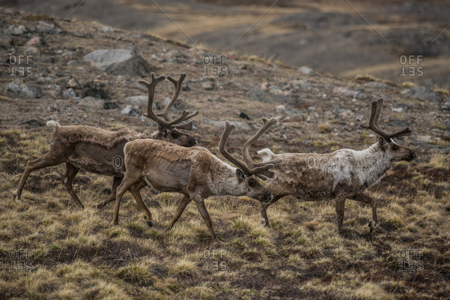 Three adult male caribou, Rangifer tarandus, with velveted antlers walk across the rocky tundra