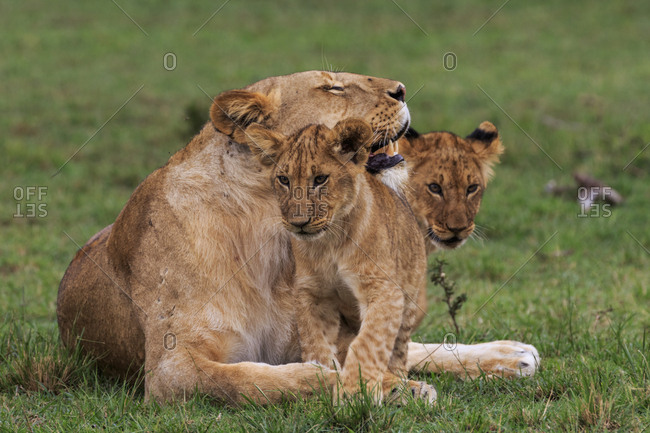 A female lion with cubs