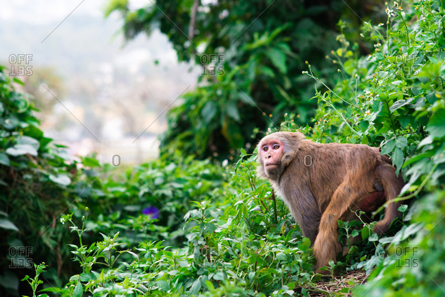 A macaque monkey amid lush greenery