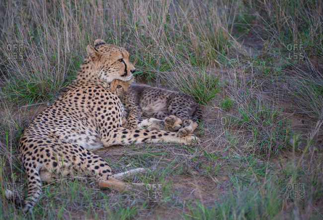 A young cheetah cub cuddles with its mother