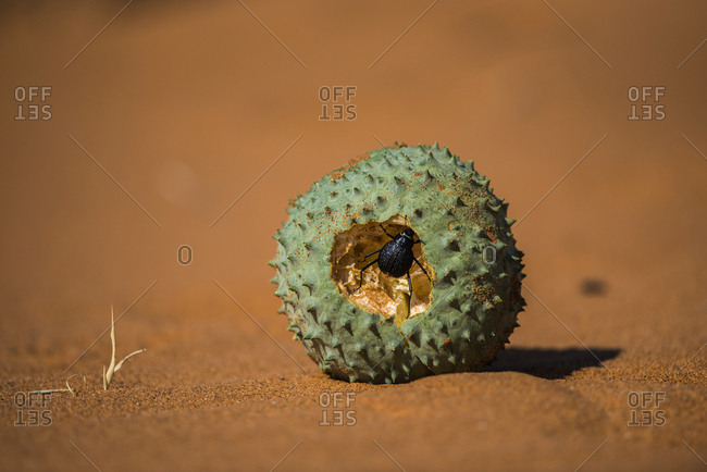 A fog-basking beetle feeds inside a melon fruit of a Nara bush