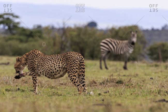 A cheetah licks its paw, while a zebra observes in the background