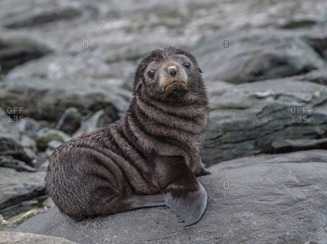 Antarctic fur seal pup perched on a rock