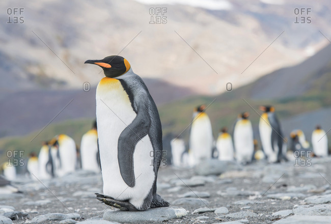 A King penguin at roost