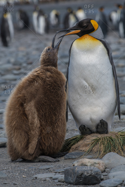 King Penguin feeds a juvenile chick, also called an Oakum Boy