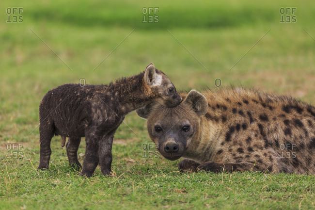 A baby spotted hyena (Crocuta crocuta) nuzzles its mom