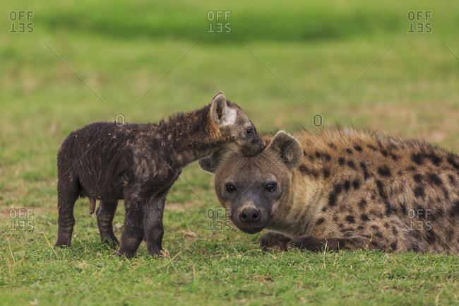 A baby spotted hyena (Crocuta crocuta) nuzzles its mom
