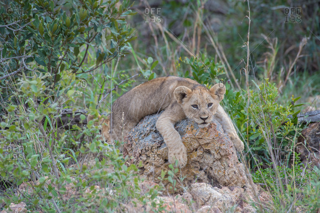 A young lion cub lounges atop a rock