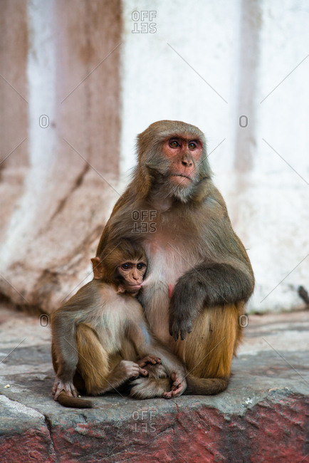 A macaque breastfeeds its young in an urban environment