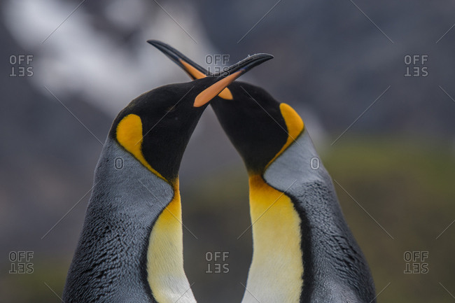 Two King penguins on South Georgia Island
