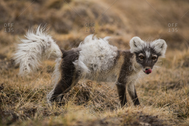 A shedding Arctic fox (Vulpes lagopus) in early spring