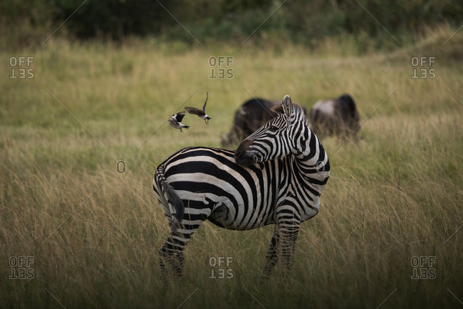 Burchell's zebra scares off its companion birds at Masai Mara National Reserve