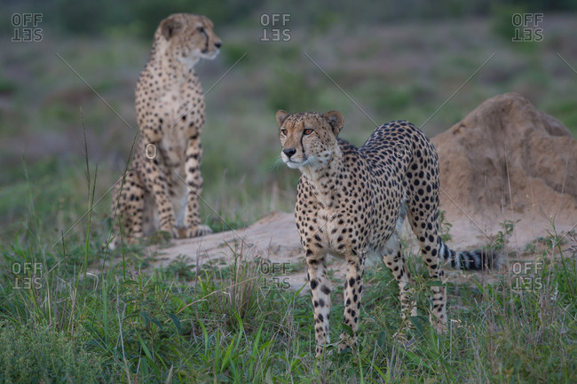 A male cheetah sets his eyes on potential prey