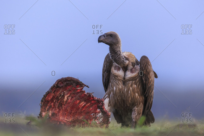 A white-backed vulture, Gyps africanus, guards a wildebeest rib cage