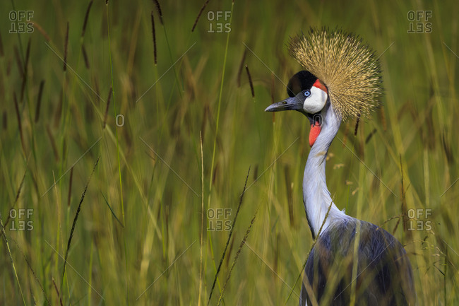 A grey crowned crane (Balearica regulorum) stands in tall grass