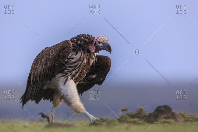 Lappet-faced vulture (Torgos tracheliotos) in a display of aggression