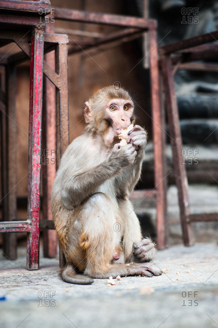 A macaque eats scraps of food left behind by the temple visitors