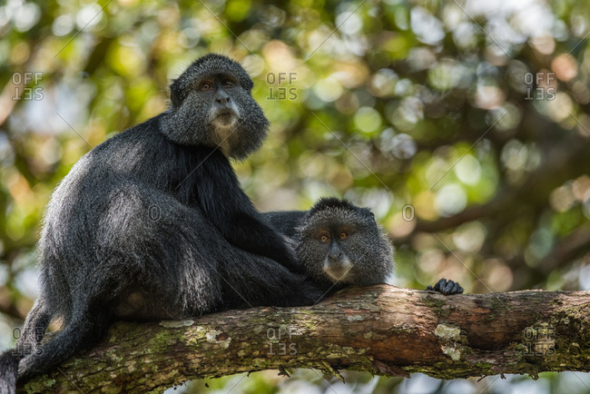 Blue monkeys (Cercopithecus mitis) rest in a tree