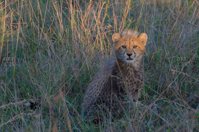 A young cheetah cub in the grass