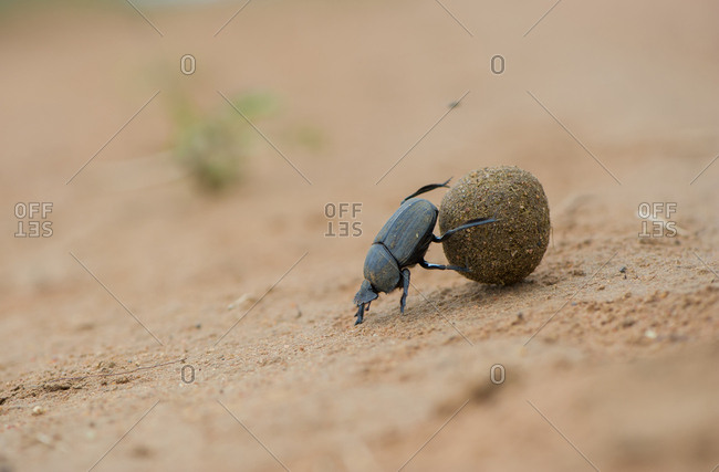 A dung beetle rolls its ball of dung