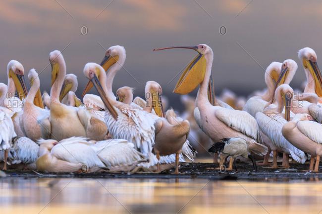 Great white pelicans at the shore of Lake Nakuru