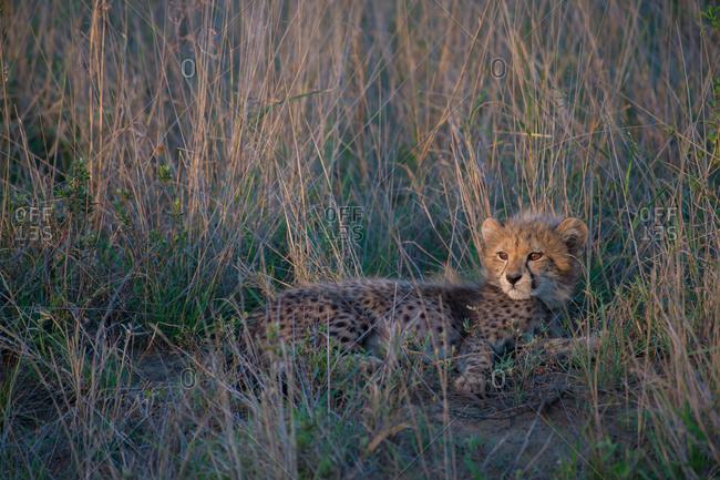 A sunlit cheetah cub lounges in tall grass