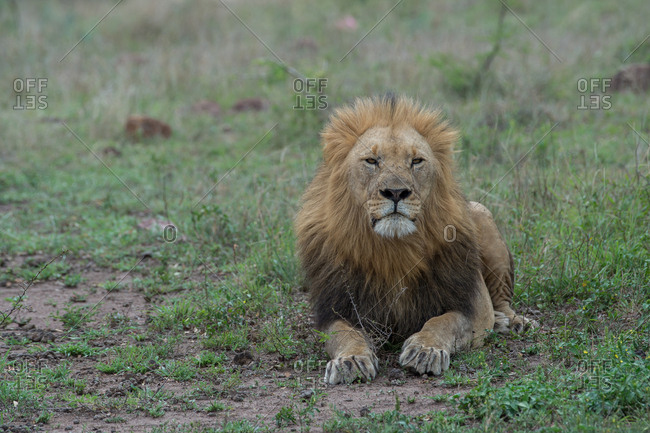 A male lion lying down