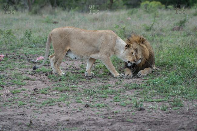 A pair of lions nuzzle