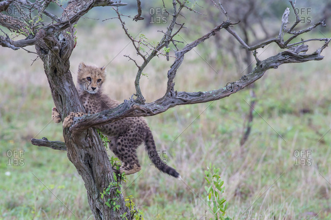 A cheetah cub climbs up a tree trunk